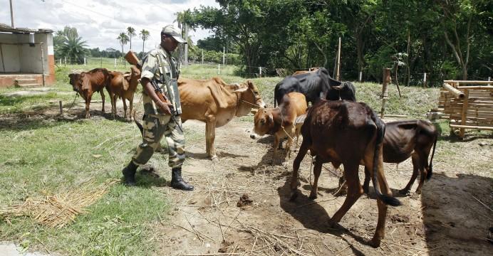 cow to bangladesh