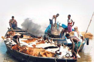 Cattle smuggled to Bangladesh